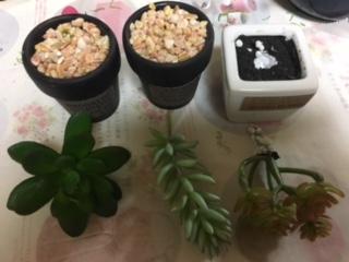 多肉植物(3種)を、すべて引っこ抜きます